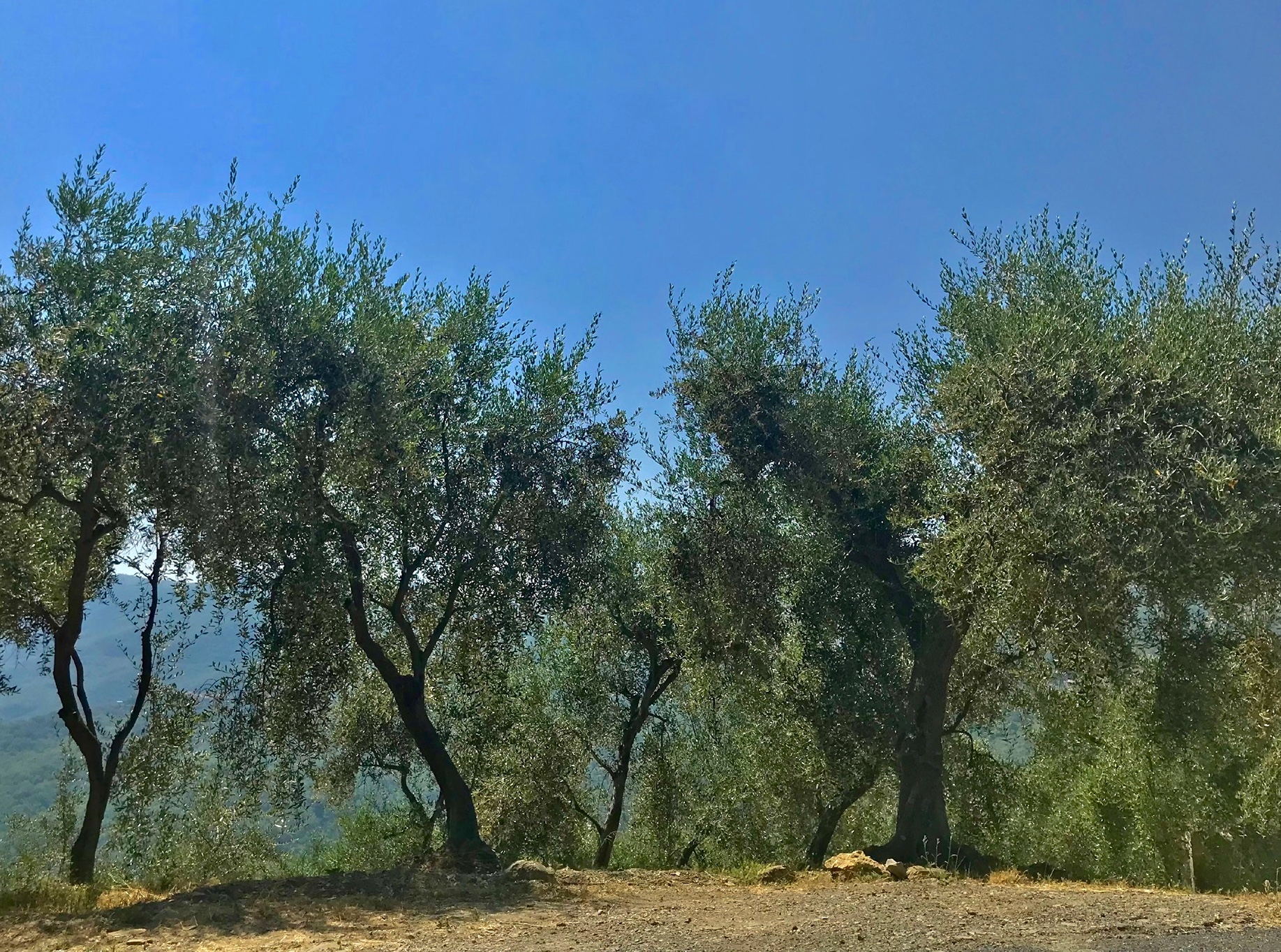 A Walk among the Olive Trees